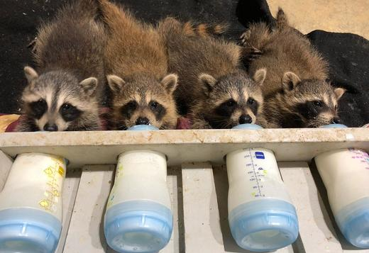 Baby Raccoons Exotic Animals For Sale Price