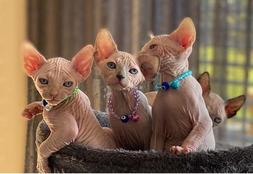 Sphynx Exceptional sphynx kittens searching for new homes.