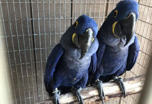 Extremely friendly Blue Hyacinth macaws