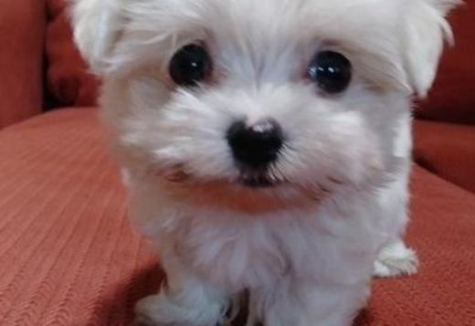 Maltese AWSED Maltese puppies