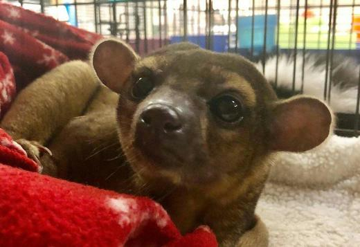 Kinkajou for sale