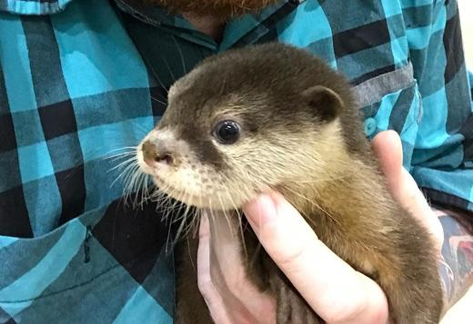 TAMED ASIAN SMALL CLAWED  OTTERS PUPS