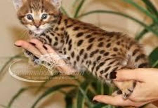 Bengal Serval,savannah, Caracal Kittens and Bengal kittens available for new