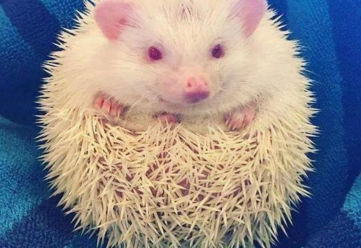 ALBINO HEDGEHOGS PAIRS FOR PET