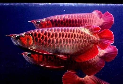 GRAD A SUPER RED AROWANA FISH , GOLD AND MANY OTHERS SPECIES