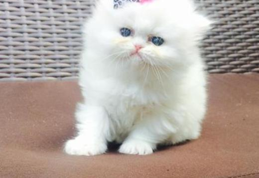 Persian Stunning Persian Kittens For Sale