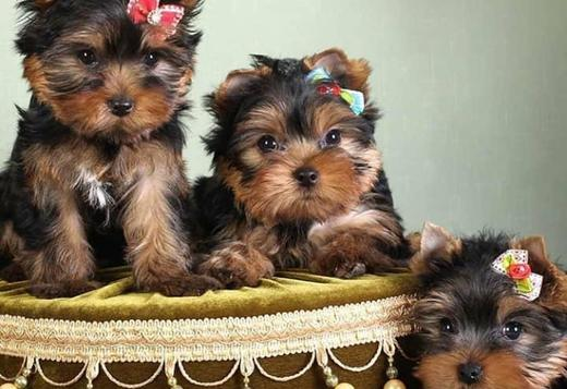 Yorkshire Terrier Holly yorkie puppies arena