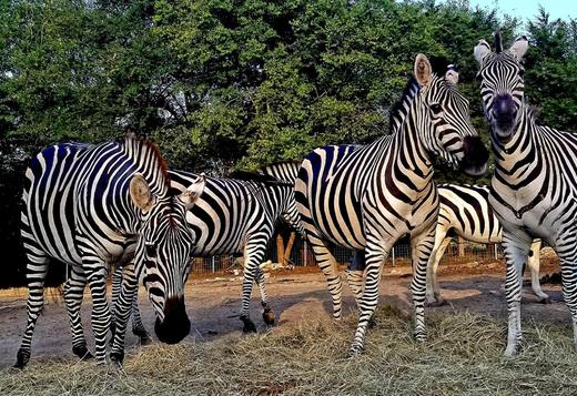 Outstanding Zebras for Sale
