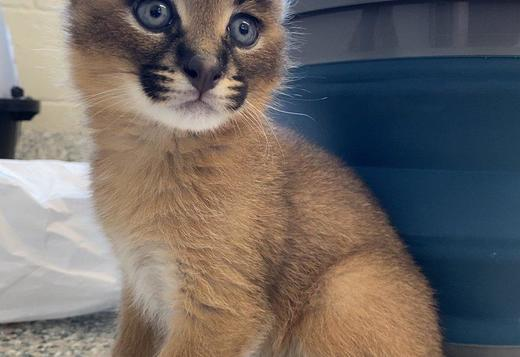 Serval, Savannah, Caracal and Bengal kittens for sale
