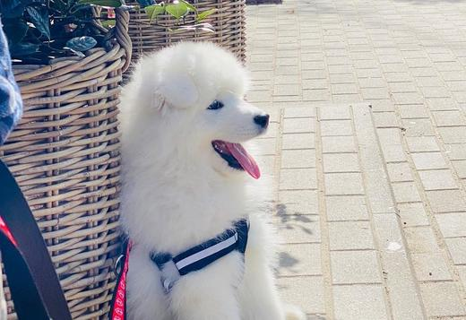 Samoyed SMART SAMOYED PUPPIES