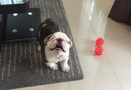 Bulldog English Bulldog Puppies Available