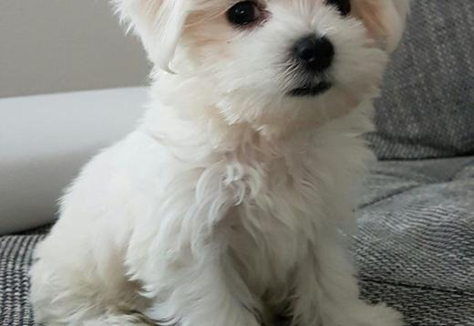 Maltese Maltese puppies Ready