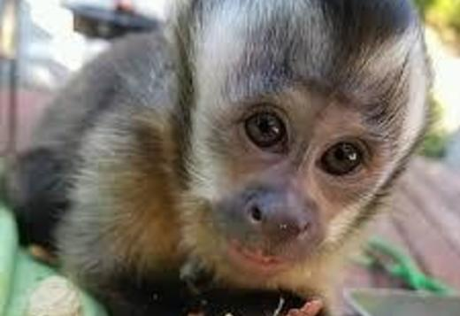 BABY CAPUCHIN MONKEYS FOR SALE
