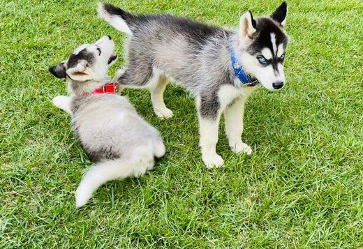 Siberian Husky Purebred Siberian Husky Puppies ready Text me at (402) 939-7834