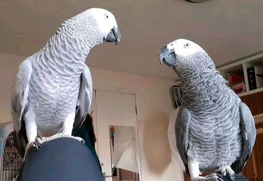 AFRICAN GREY PARROT WITH CAGEHis