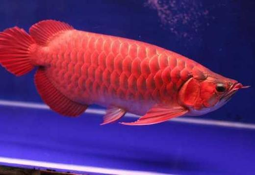 Assorted Arowana fish now available for Sale. Order Now !