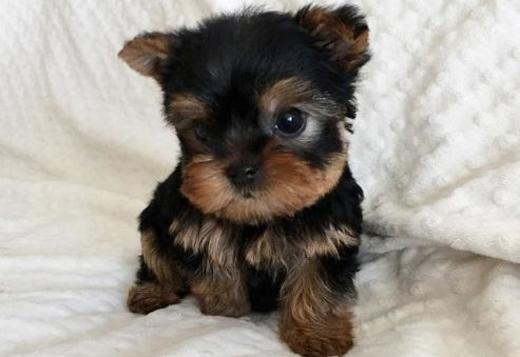 Yorkshire Terrier Adorable registered Yorkie pups for sale