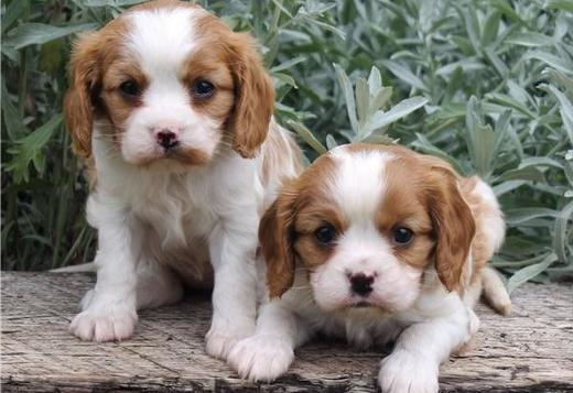 Cavalier King Charles Spaniel Cavalier King Charles spaniel Puppy For Sale , Text us  (213)-465-0213