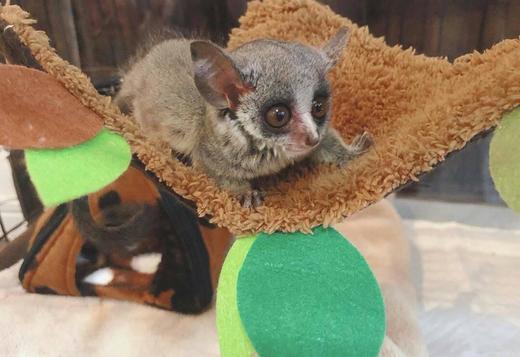 Tamed bush babies USDA Licensed, Exotic animals, for Sale ...