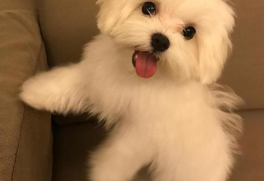 Maltese Male and female Maltese puppies