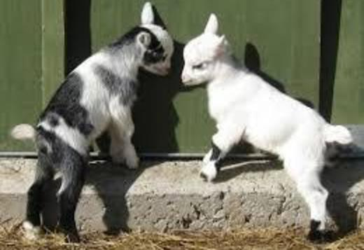 Pygmy Goats available now with nice coat