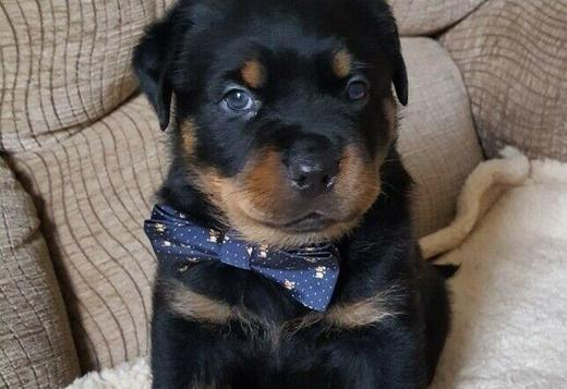 Rottweiler Puppy For Sale Text us  (213) 769-8542