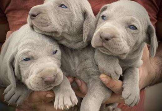 Weimaraner Puppy For Sale , Text us (213) 769-8542