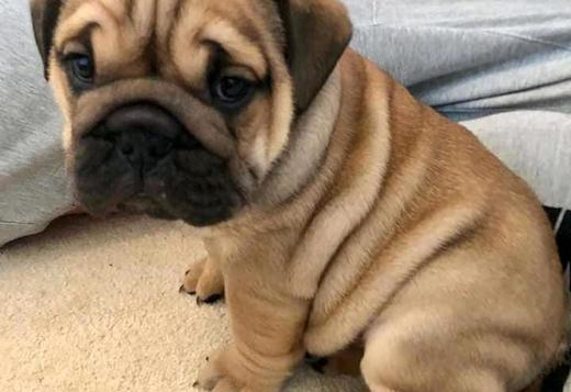 Pug Pug puppies looking for good homes