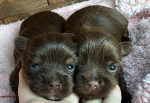 Yorkshire Terrier Gorgeous male and female Yorkshire Terrier puppies