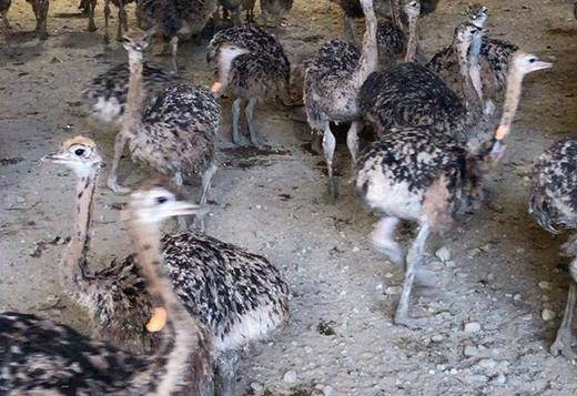 HAND TAMED EMUS , OSTRICHES AND PEACOCK FOR SALE WITH THEIR EGGS