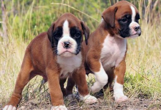 Boxer Puppies (213) 769-8542