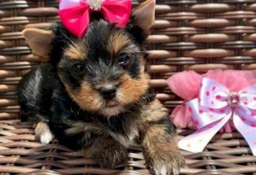 Yorkshire Terrier Registered Yorkshire Puppies For Re-Homing.