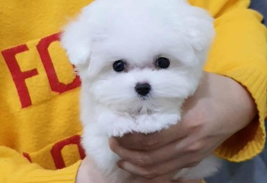 Bichon Frise Bichon Frise Puppies for Sale | https://sunshineteacuppuppieshome.com/