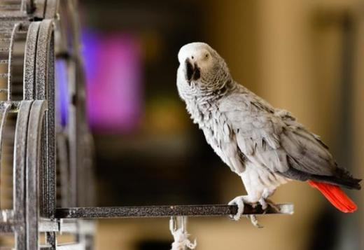 African Grey Babies for Sale +1(805) 874-2739