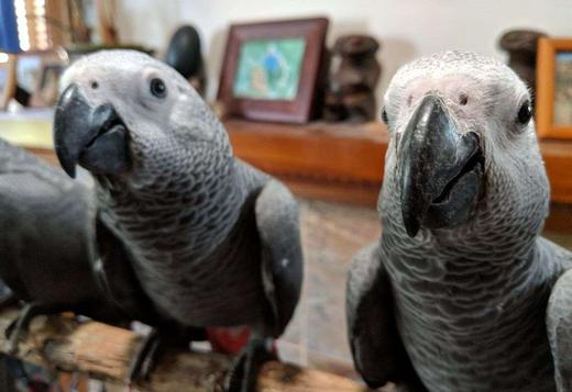 3 cute African Grey Parrot +1(805) 874-2739