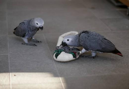 Amazing African Grey Parrot for sale +1(805) 874-2739