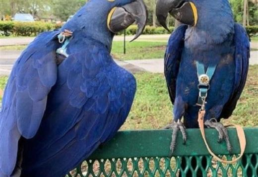 Male and Female Hyacinth Macaw Parrot