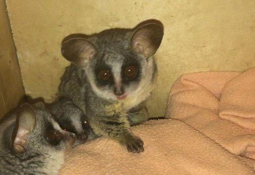 Bush Babies available . Hand raised and tamed