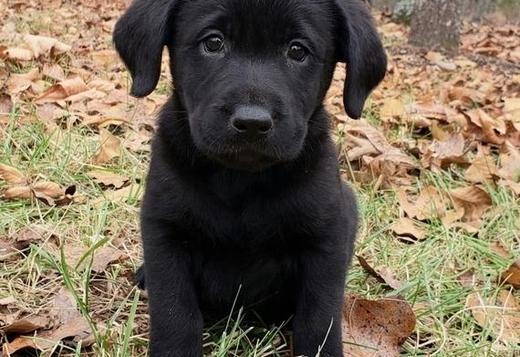 Labrador Retriever Akc Reg Labrador Retriever Puppies For Adoption...