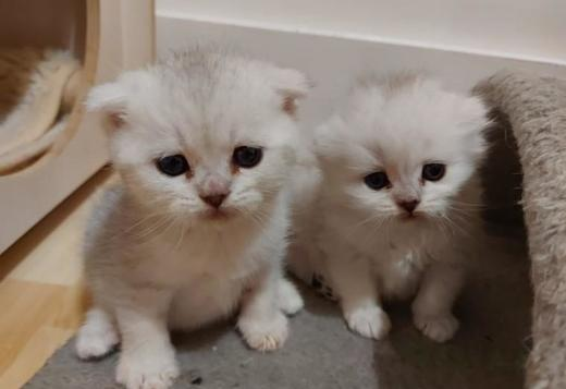 Scottish Fold Scottish Fold Kittens