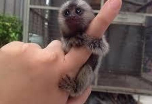 Well trained Marmoset & Capuchin Monkeys for sale.