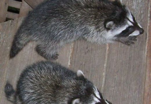 raccoon animals exotic puppy atlanta puppies guanaco exotics hoobly animalssale usa pet breeder availa