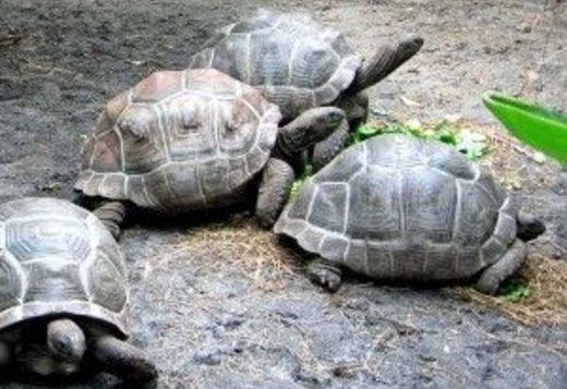 Sulcata And Aldabra Tortoise For Sale Reptiles For Sale