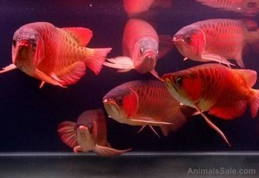 Quality asian arowana fishes of all kind for sale