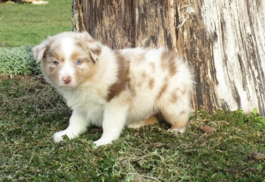 Australian Shepherd Stunning Australian Shepherd Puppies For Sale