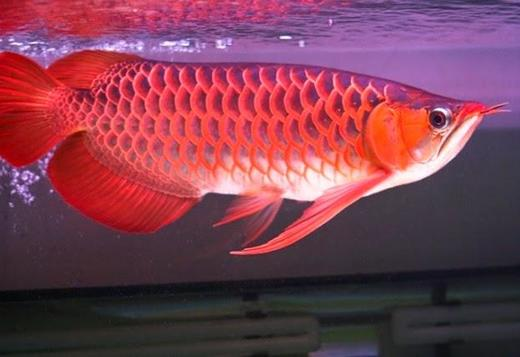 op quality Super Red Arowana fishes and many others for sale