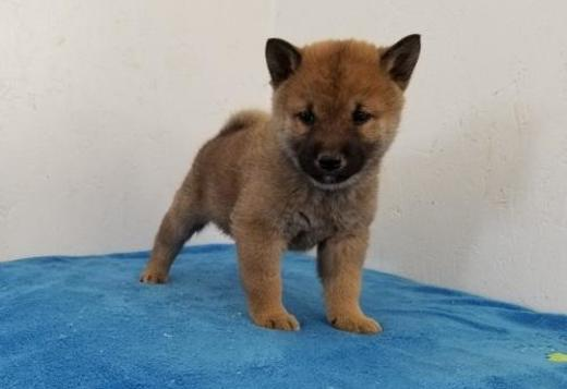 Shiba Inu Courteous and lovely Shiba Inu pups for sale