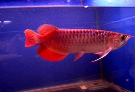 Top Quality Super Red Arowana Fish For Sale & Others (562) 448-684