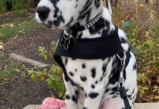 Dalmatian Lovely and smart  Dalmatian puppies pure breed