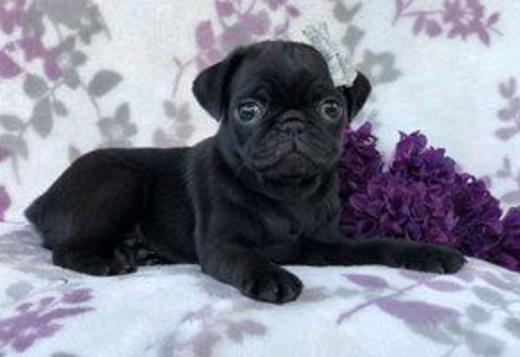 Pug Beautiful male and female Pug Puppies (469) 900-1807.